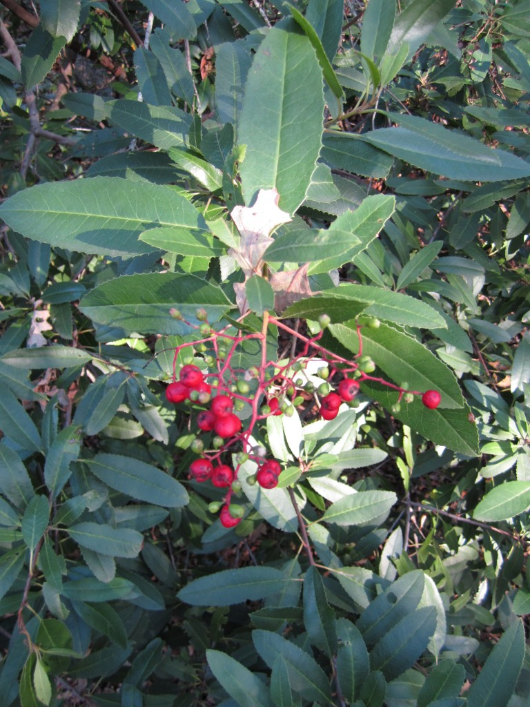 Toyon with berries, Sonoma Valley. Photograph copyright 2013 Rebecca Lawton.